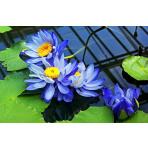 Blaue Seerose