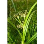 Škripina lesná – Scirpus sylvaticus