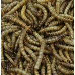 Mealworms - Múčne červy 2,5L