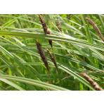 Ostrica čierna - Carex nigra