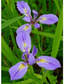 Kosatec louisianský - Iris louisiana