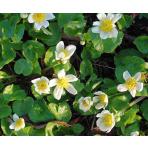 Záružlie močiarne biele - Caltha palustris ALBA