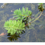 Stolístok - Myriophyllum spec