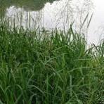 Steblovka vodná - Glyceria maxima