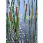 Typha angustifolia - Pálka úzkolistá