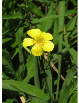 Iskerník veľký - Ranunculus lingua