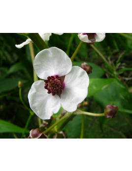 Šípovka širokolistá - Sagittaria latifolia