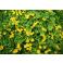Čerkáč peniažtekový - Lysimachia nummularia Aurea