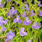 Čarodejka fialová- Mimulus ringens