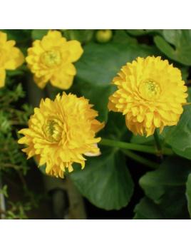 Záružlie močiarne - Caltha palustris multiplex