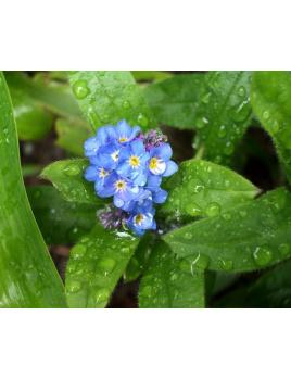 Nezábudka močiarna - Myosotis palustris