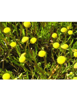 Kotula jednoročná - Cotula coronopifolia