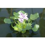 Hyacint - Eichornia spec