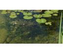 Rastliny hlbokej zóny - Filtračné rastliny
