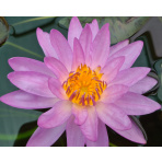 Lekno - Siam purple 1