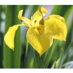 Kosatec žltý - Iris pseudacorus
