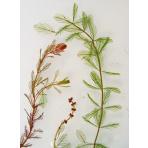Myriophyllum spicatum - Stolístok klasnatý