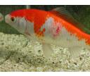 Choroby rýb: Bakteriálne ochorenia