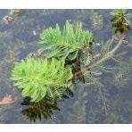 vodna rastlina myrophylum aquaticum