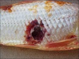 bakterialne ochorenie jazierkovych ryb